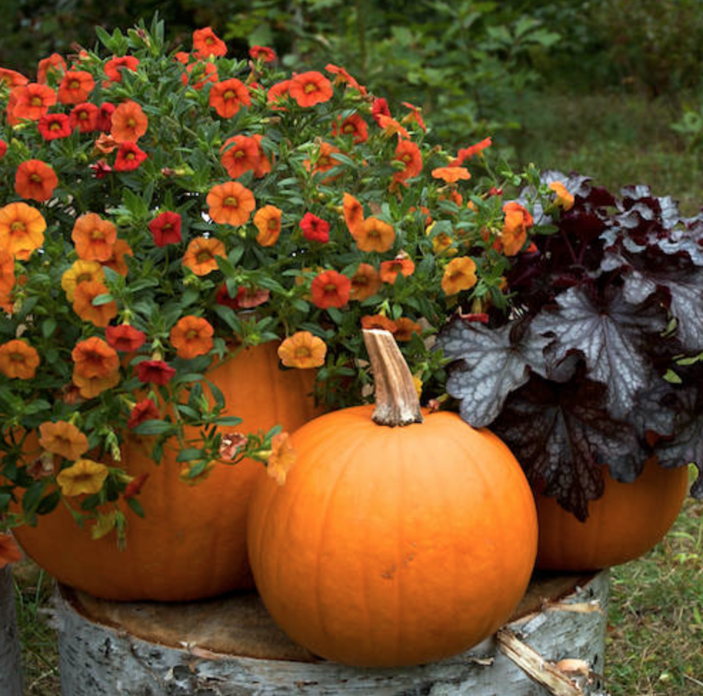 history of pumpkins The role of the pumpkin in american culture has a long and complex history as a  food product, it's become synonymous with thanksgiving, the.