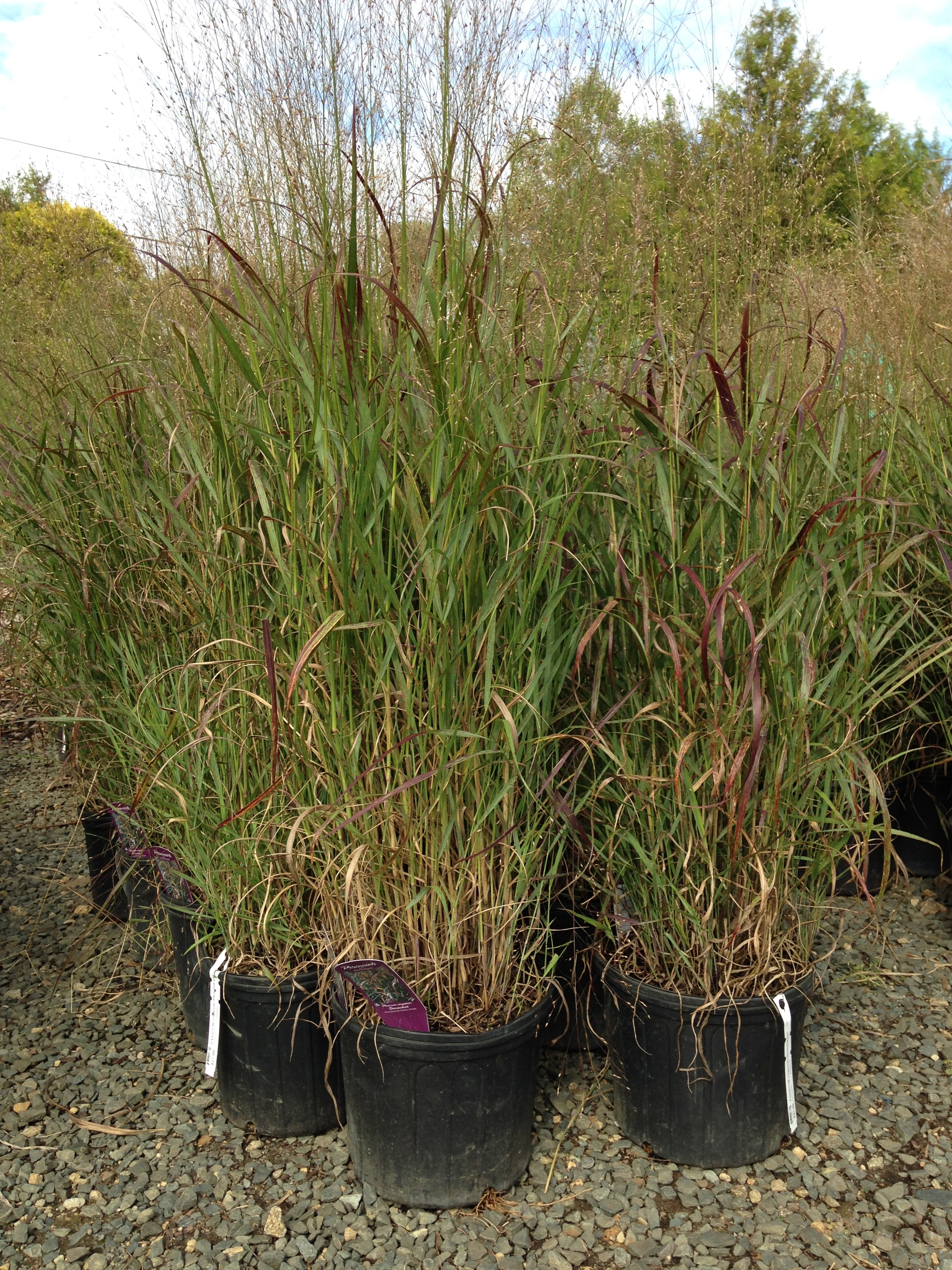 Nilsen landscape design ornamental grasses selecting for Tall red grass