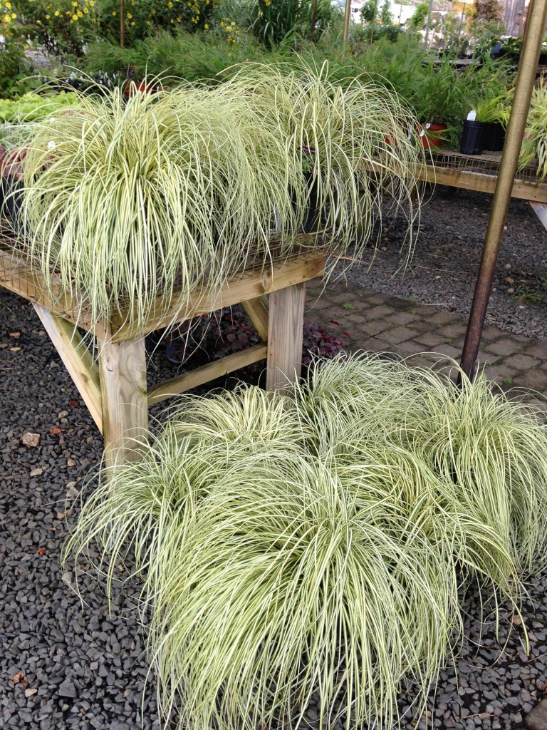 Nilsen landscape design ornamental grasses selecting for Mounding grass