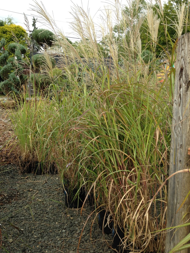 Nilsen landscape design ornamental grasses selecting for Ornamental grasses that grow tall